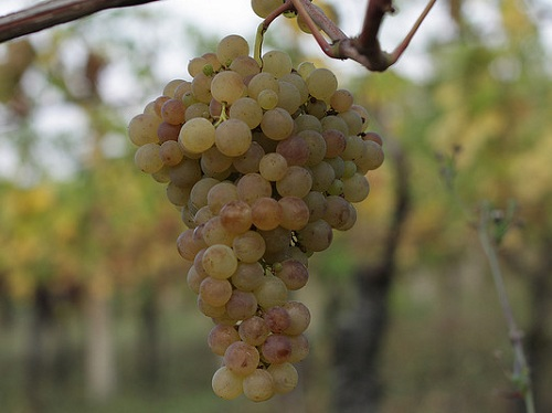 Verdicchio, a typical oenological product